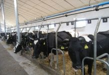 Krowy w oborze