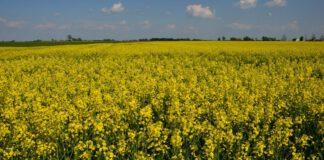 Wzrosła krajowa produkcja oleju rzepakowego