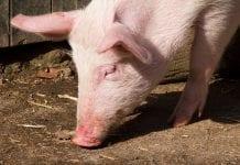Świnie wdobrej cenie