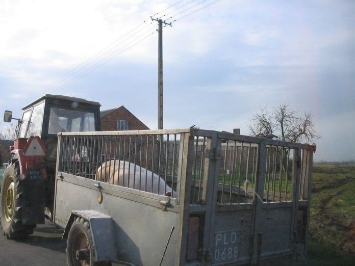 Świnie w drodze na targ