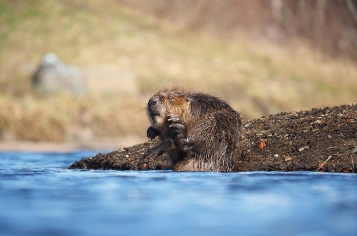 Bóbr na rzece