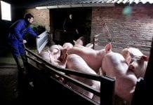 Świnie podczas transportu