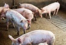 Świnie wgospodarstwie