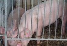 Świnie wzagrodzie