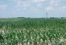 Susza - kukurydza