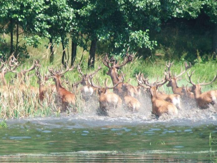 Za dużo zwierząt leśnych