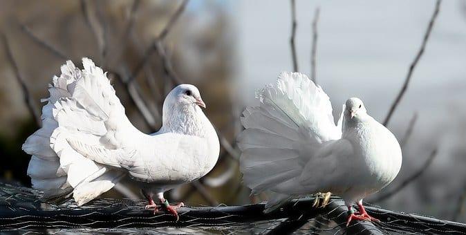 Krajowa Wystawa Gołębi Rasowych i Drobnego Inwentarza
