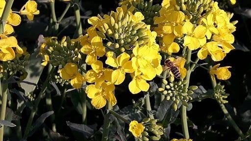 Rzepak – nasza cenna roślina oleisto-białkowa