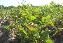 Kiła kapusty atakuje sadzonki ziemniaków
