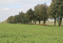 Nawozy zielone wuprawie kukurydzy