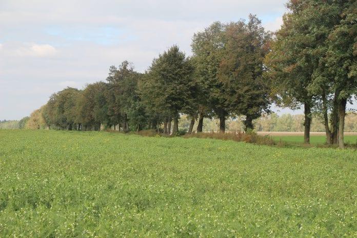 Nawozy zielone w uprawie kukurydzy