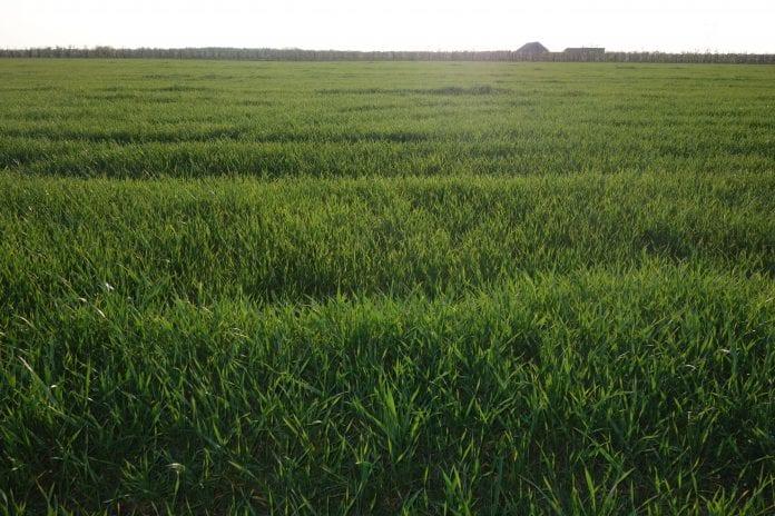 Susza rolnicza w uprawach zbóż i truskawek