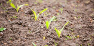 Skuteczne rozwiązanie na chwasty w kukurydzy