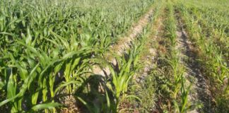 Gumisil - wpływ ryzobakterii na wzrost i ochronę roślin