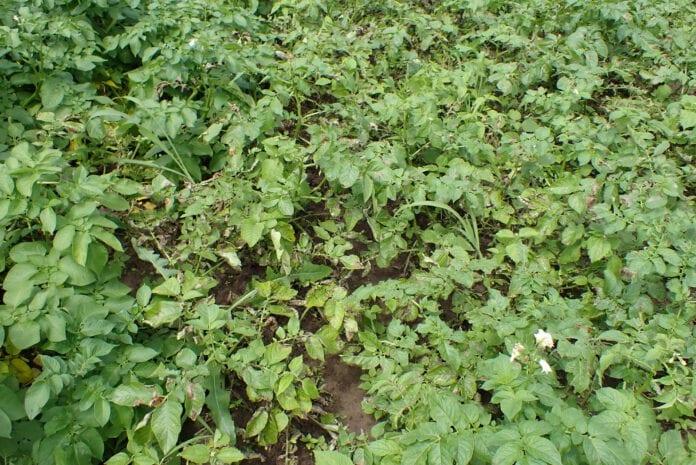 Fot. 1 Phytophthora infestans poraża silnie ziemniaki wczesnych odmian