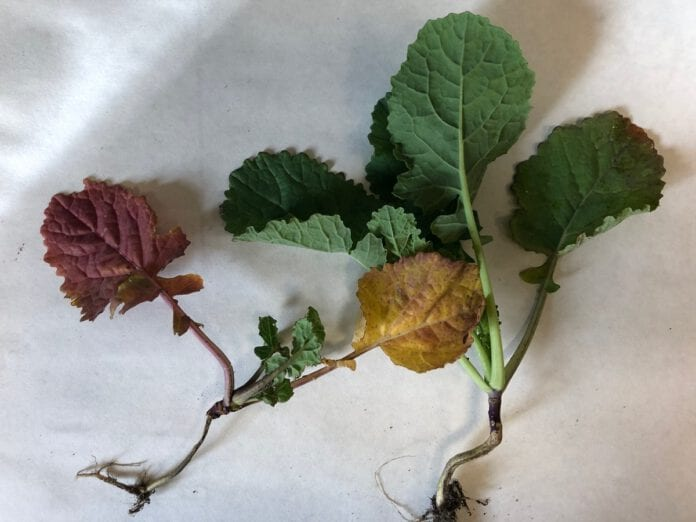 Fot. 2 Młoda roślina porażona wirusem żółtaczki rzepy