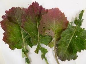 Fot. 3 Intensywne zabarwienie blaszek liściowych spowodowane przez TuYV