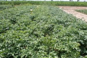 Prawie wszystkie sekwencje mieszanin Banduru 600 SC zinnymi herbicydami napoletkach ziemniaka dały dobry efekt