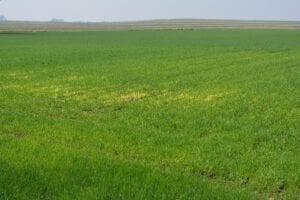 """Widoczny wpływ następczy działania substancji aktywnej chlomazon, która hamuje syntezę barwników roślinnych. Bielenie zbóż w miejscu nałożenia dawki herbicydu w trakcie zwalczania chwastów w roślinie przedplonowej. Charakterystyczne """"bielenie"""" można zaobserwować również na polach rzepaku traktowanych substancją aktywną chlomazon."""