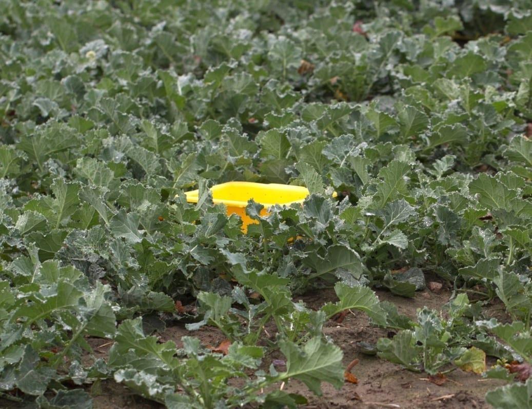 Żółte naczynia sprawdzają się m.in. w monitoringu chowaczy łodygowych